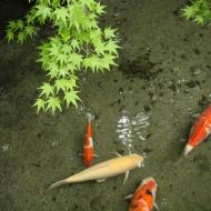 瑠璃光院の鯉