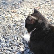 伏見稲荷の猫